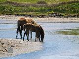 Wild Horses V print