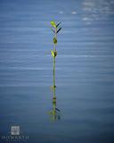 Mangrove Weed print