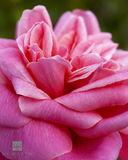Bermuda Rose print