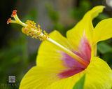 Yellow Hibiscus print
