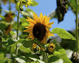 Sun Flower II print