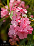 Oleander Flower print