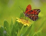 Gulf Fritillary Butterfly print