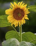 Sun Flower print