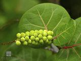 Bay Grape Berries print