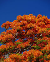 poinciana, flower, bloom, vibrant