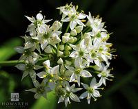 wild, onion, white, flower