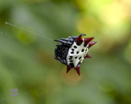 Crab Spider in web