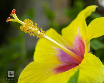 yellow, hibiscus, flower, vibrant