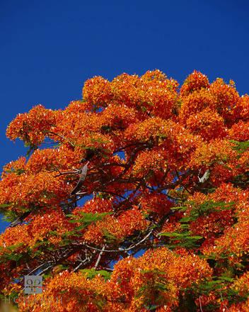 poinciana, flower, bloom, vibrant