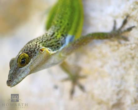 warwick, lizard, fauna