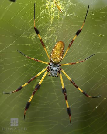 golden, silk, orb-weaver, spider, nephila, banana, web