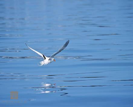 longtail, bermuda, national, bird, sargasso, summer, water