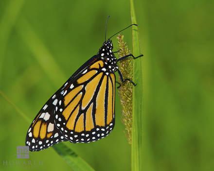 Monarch II