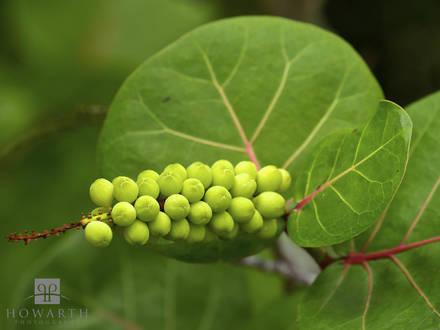 Bay Grape Berries