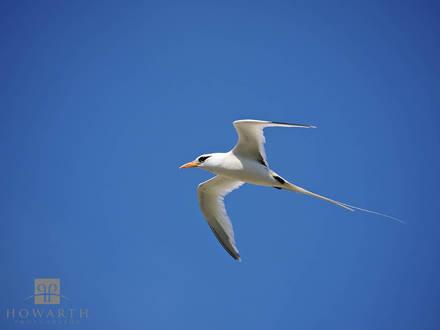 longtail, bermuda, national, bird, sargasso, summer