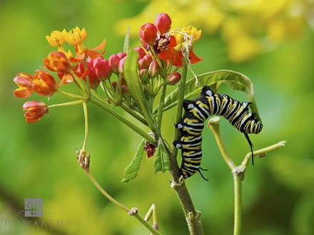 monarch, butterfly, milkweed, botanical gardens, caterpillar