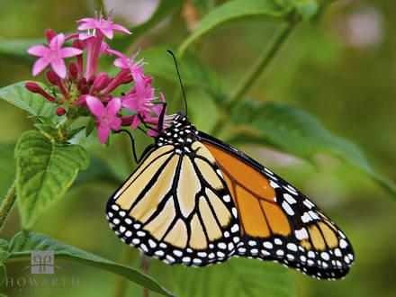 monarch, butterfly, milkweed, botanical gardens