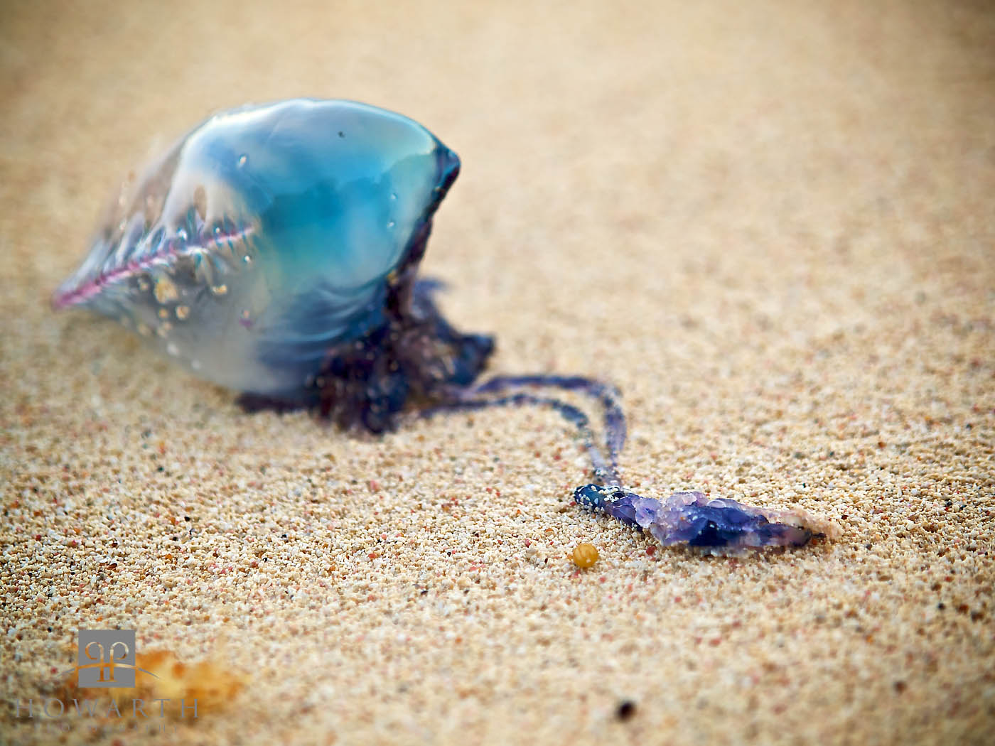 A portuguese man of war washed up on the beach