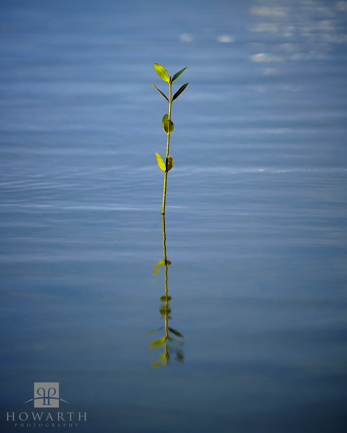 A lone mangrove weed pokes out of the shallows near Spanish Point
