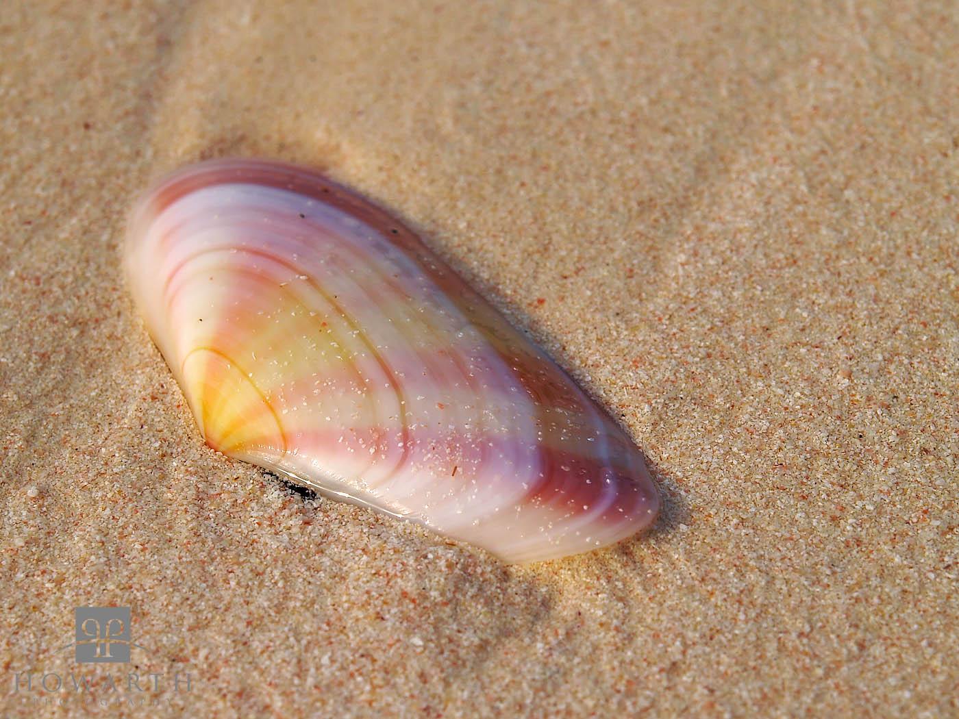 sunrise, tellin, sea, shell, pick, sand, beach, photo