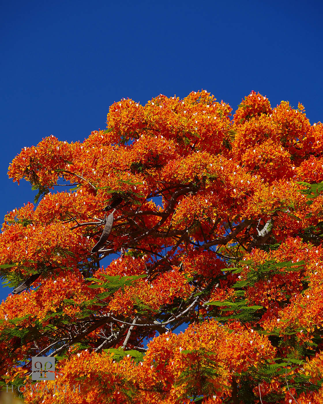 In the summer months these trees can bloom across the island, a beautiful site