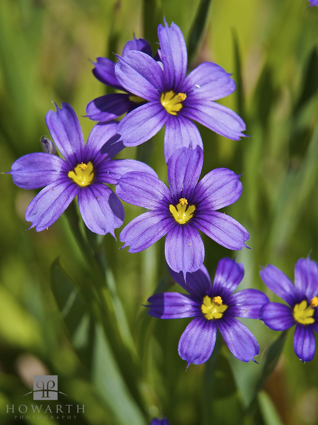 Bermudiana's bloom in the spring and are an incredibly hearty flower, often found in very harsh locations from March through...