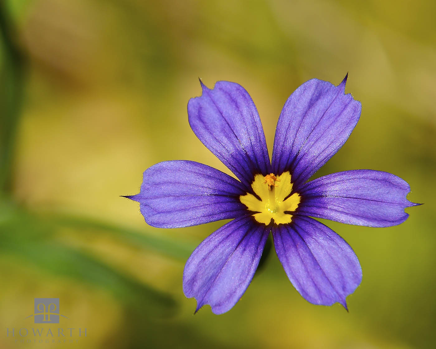 bermudiana, national, flower, spring, photo