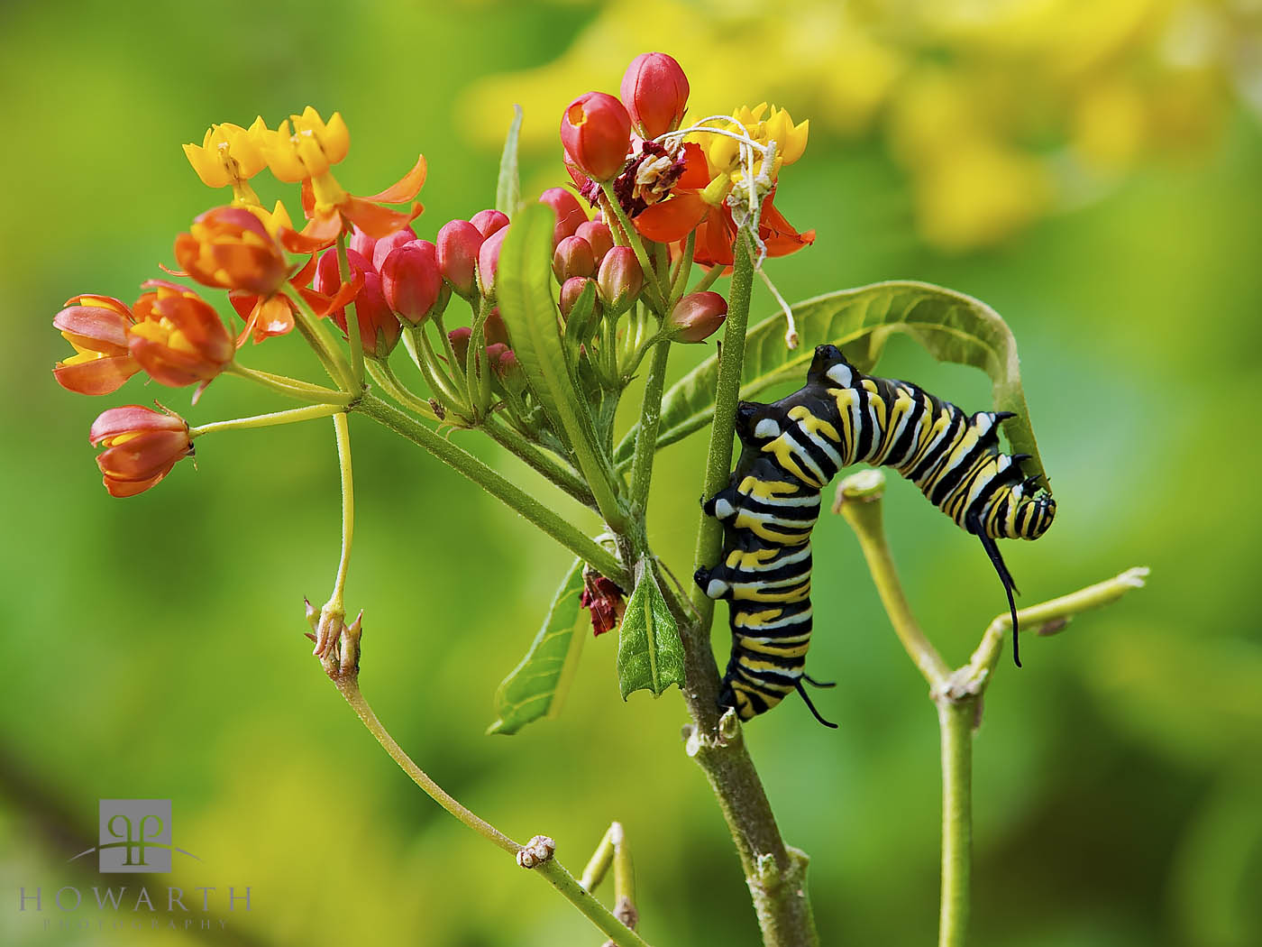monarch, butterfly, milkweed, botanical gardens, caterpillar, photo